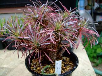 ユーフォルビア ムルチフォリア (Euphorbia multifolia)花キリンにもそっくり!細葉が多く刺はない!2012.03.26