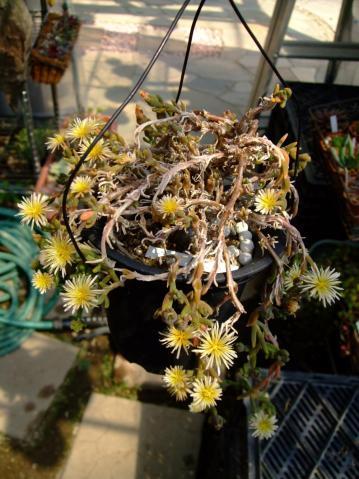 メセン科 フィロボルス属・テヌイフロルス(Aizoaceae Phyllobolus tenuiflorus) 満開です。2012.03.28