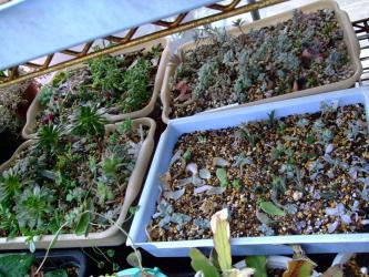 いろいろ多肉植物~2年目の挿し木&葉挿しバッド~2012.03.30