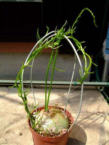 ユリ科 ボウィエア属 ボルビリス(Liliaceae Bowiea volubilis)新芽が出てあっという間にぐるぐる巻き伸びています!2012.04.05