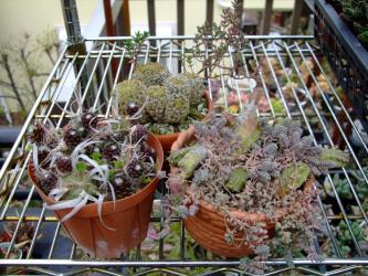 サボテンとコラボする細かい多肉植物~サボテンの中の多肉?多肉の中のサボテン?2012.04.08