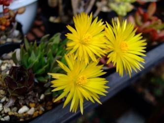 ベルゲランタス 照波(テルナミ)=三時草(さんじそう)( Bergeranthus multiceps )2012.04.19開花