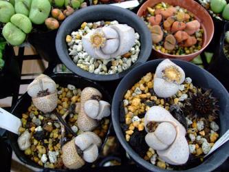 ディンテランサス 奇鳳玉(きほうぎょく)(Dintheranthus microsperum)種鞘が・・・開いて弾けて・・・2012.04.29