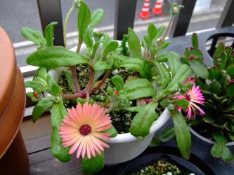 リビングストン・デージー /紅波璃(Dorotheanthus bellidiformis cv. Livingstone Daisy )こぼれ種苗元気です!2012.04.30