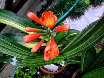 斑入りクンシラン(君子蘭)(Clivia miniata)科名:ヒガンバナ科 クリビア属(クンシラン属)開花してました!2012.04.30