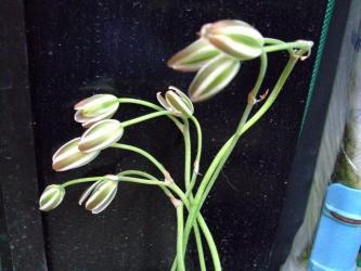 アルブカ フミリス(Albuca humilis)の花白&緑・・・開かないで閉じたままです(´ヘ`;)すごく長い花茎で倒れます!細いサワサワしたやわらかい葉です!2012.05.01