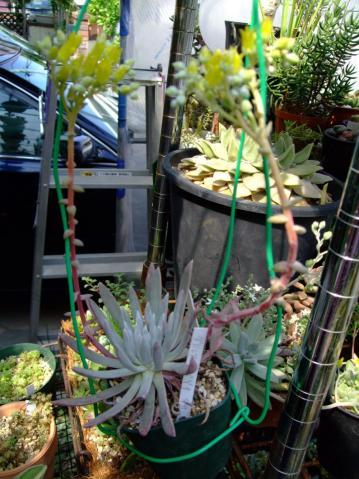 ダドレア ヌビゲナ クサンチ(Dudleya nubigena xantii)開花中~♪2012.05.08