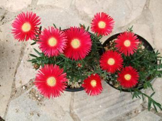 ランプランタス バリアビリス(Lampranthus variabilis)この花色が好きなのです!キレイな赤のマツバギク♪2012.05.10