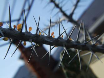 Alluaudia humberti  アルアウディア フンベルティー(Alluaudia humberti )和名:亜蝋木(あろうぼく)・細二つ葉金棒)ふたつばかなぼう)・七賢人(しちけんじん)細幹で1箇所から2枚新葉が出ています!2012.05