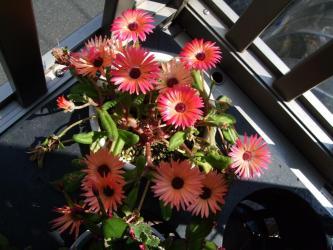 リビングストン・デージー /紅波璃(Dorotheanthus bellidiformis cv. Livingstone Daisy )こぼれ種発芽苗、たくさん咲いています!2012.05.11