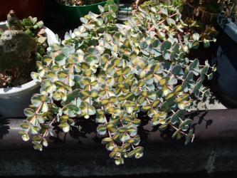 虎斑ミセバヤ(とらふみせばや)=タマノオ(玉の尾・玉緒)Hylotelephium sieboldii=Sedum sieboldii  2012.05.14