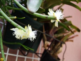リプサリス( Rhipsalis)葦サボテン~不明種~円筒状で毛が無く黄緑色意外と太い棒状です。花はポチポチした刺座のようなところから咲きます。リプサリス ディッシミリス( Rhipsalis dissmilis)(鬼柳・おにやなぎ)