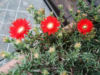 ドロサンセマム 花猩々(はなしょうじょう)Drosanthemum speeciosum~キレイな赤花2012.05.18