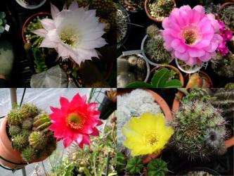 エキノプシス&ロビビア~ウニ系~i色とりどり~花サボテン開花~♪2012.05.28