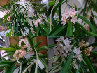 ホヤ ロンギフォリア( Hoya longifolia)ヒマラヤ中部原産地~開花中~2012.06.05