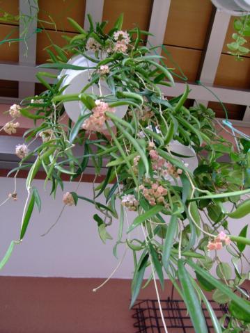 ホヤ ロンギフォリア( Hoya longifolia)ヒマラヤ中部原産地~淡ピンクの蕾中~2012.06.02