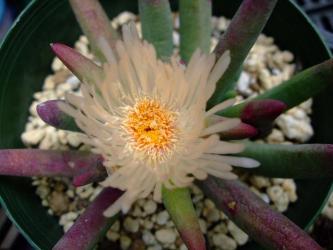 キリンドロフィルム コンプトニー (Cylindrophyllum comptonii).開花中~2012.06.08
