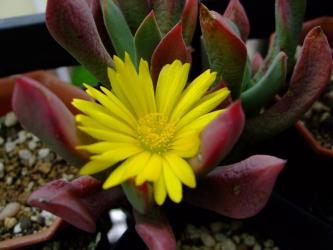 シュワンテシア ピランシー(Schwantesia aff. pillansii)葉が緑っぽいそれ程白くない感じ~紅葉しながら開花中~2012.06.08