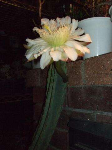 ●鬼面角(刺の無いタイプ/ヌーダム)(Cereus hildmannianus cv. nuda)昼間蕾で夜咲きました~♪2012.06.08