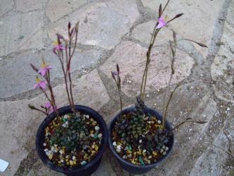 左:アナカンプセロス ナマクエンシス(Anacampseros filamentosa ssp. namaquensis)右:アナカンプセロス アラクノイデス(Anacampseros arachnoides)可愛いピンクの花が咲いています!2012.06.10