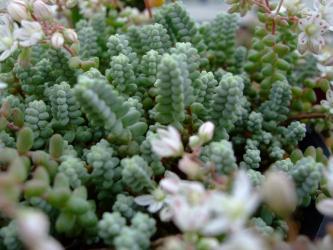 セダム そよ風の天使(白ブレビフォリウム クインクエファリム?)(Sedum brevifolium quinquefarium) 2012.06.15