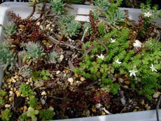 """ピレア セルフィラケア グロボーサ(露鏡)Pilea serpyllacea """"Globosa"""" 3月~4ヶ月大盛りになりました!枝を切り戻して下のプランターへばら撒いています。2012.06.17"""