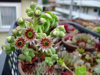 センペルビウムの寄せ植えに花が咲きました!なんだか~不思議な花です♪2012.06.22