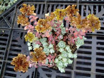 セダム スパスリフォリウム ケープブランコ(Sedum spathulifolium)白雪ミセバヤ~花が咲いた後~これも種かしら?ちがう?2012.06.28
