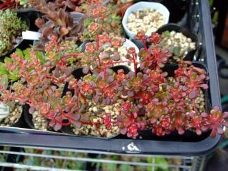 セダム オレガナム(Sedum oreganum)寒くもないのに~真っ赤に紅葉中~花芽はまだ見えません!どんな花が咲くのでしょう?2012.06.28