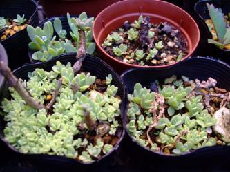 オロスタキス岩蓮華のこぼれ種発芽~2012.07.04形がハッキリしてきました♪斑入りは見当たりませんが今年も種が繋がります♪