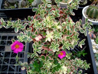 斑入りポーチュラカ♪ピンクの花が咲いています。あまり花着きは良くない感じです・・・2012.07.07