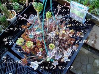 多肉植物寄せ植え~吊鉢~色とりどりのセダム・クラッスラ・エケベリア・グラプトペタムなど~3年目の夏を迎えました。2012.07.09