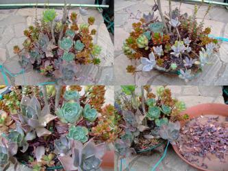 多肉植物寄せ植え~吊鉢~色とりどりのセダム・クラッスラ・エケベリア・グラプトペタムなど水やりタップリ後、下葉取り~3年目の夏を迎えました。2012.07.12