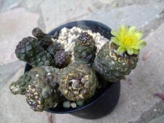 コピアポア ヒポガエア(Copiapoa hypogaea)肌が汚くなって、よぼよぼですが咲いてくれました♪2012.07.15