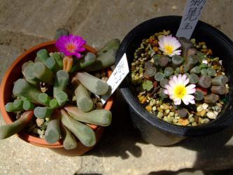 フリチア 光玉&菊光玉~同じ時期に咲いています♪春から秋に成長する特異なメセンです!2012.07.16