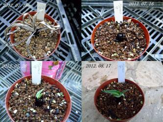 ヒポキスsp.~球根らしいですが地上部葉この通りカレガレていました。水やりするとおやまあ!新芽が~生きていました!2012.08.17