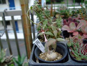 セロペギア バークリー(Ceropegia barklyii (RSA,Queenstown))地味な花が咲いています♪2012.07.20