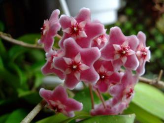 ホヤ プビカリクス シルバーピンク (Hoya pubicalyx 'SilverPink')2012.07.21~一房だけ開花♪
