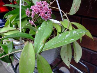 ホヤ プビカリクス シルバーピンク (Hoya pubicalyx 'SilverPink')まだらに銀模様が有ります。一房だけ開花♪ 2012.07.22