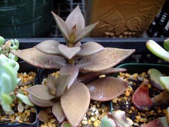 レノフィルム レフレクサム(Lenophyllum reflexum)黒い訳ではない茶色い葉色~♪2012.07.27