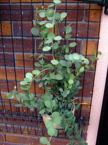 クセロシキオス属  緑の太鼓(みどりのたいこ)(Cucurbitaceae Xerosicyos danganyii)2012.07.30