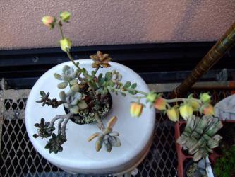 エケベリア 紅司(べにつかさ)(Echeveria nodulosa)とても長い花茎です~開花しました♪2012.07.26