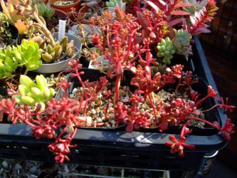 Sedum oreganum (オレガナム) 日に当たり過ぎて真っ赤ですこのまま育たず枯れるような気がします。みどりに戻って花が咲いて欲しいです(´ヘ`;)2012.08.13