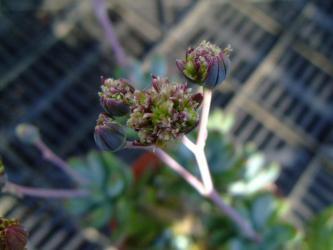 キク科 セネシオ属 万宝(まんぼう)(Senecio serpens)~の風変わりな花~咲いています~2012.08.11
