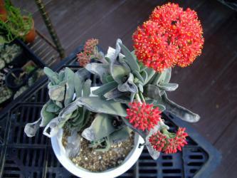 クラッスラ 神刀(じんとう)Crassula perfoliata var. falcata, var. minor ~傷だらけで咲いてます♪2012.08.11