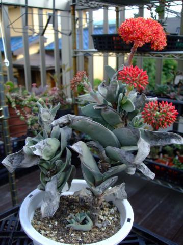 クラッスラ 神刀(じんとう)Crassula perfoliata var. falcata, var. minor ~傷だらけでも咲いています♪2012.08.11