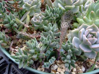 多肉植物いろいろ~鉢受け皿に葉挿し&挿し木~イイ感じに根付いてきました!シロボタン、ギンゾロエ、シノクラッスラ、ハンメリー、ジンガールブラ、姫シュウレイ~などなど2012.08.14