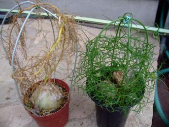 ユリ科 ボウィエア属 ボルビリス(Liliaceae Bowiea volubilis) 早く枯れた左側、まだ緑でふさふさ葉の小さい球根2012.08.21