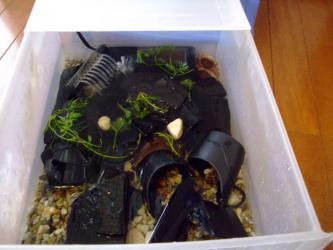 砂利浅水槽はこんな感じ~キレイな水になりました!沢蟹さんもキレイに見えます♪2012.08.22