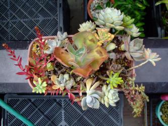 多肉寄せ植え~上から見るとこんな感じです♪16品種~2012.08.31